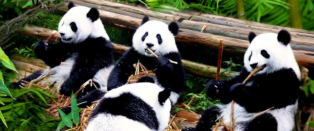 Dujiangyan Panda Volunteer Program