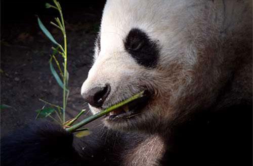 Dujiangyan Panda Volunteer Program