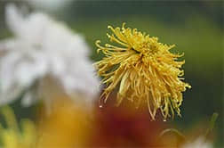 Chongyang Flower: Chrysanthemum