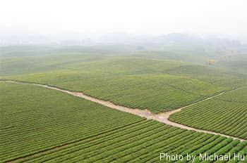 Tea Plantation in Guizhou