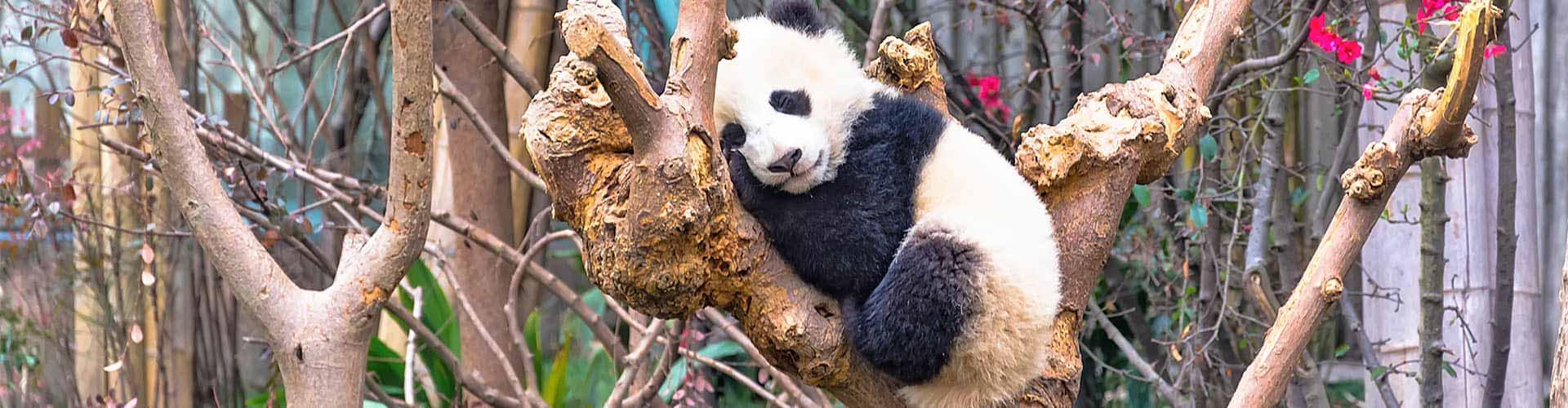 Panda Country & Yangtze River Cruise