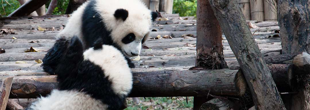 How to Plan a Tour of Chengdu