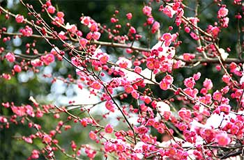 enjoy plum blossoms at lingfeng mountain