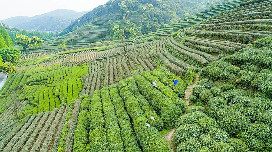 Meijiawu Tea Farm
