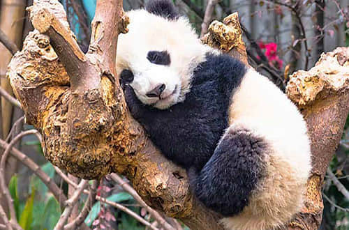 Panda Country & Yangtze River Cruise